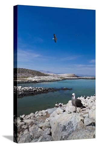 Heermann's Gulls (Larus Heermanni), Isla Rasa, Gulf of California (Sea of Cortez), Mexico-Michael Nolan-Stretched Canvas Print