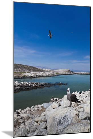 Heermann's Gulls (Larus Heermanni), Isla Rasa, Gulf of California (Sea of Cortez), Mexico-Michael Nolan-Mounted Photographic Print