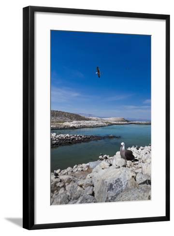 Heermann's Gulls (Larus Heermanni), Isla Rasa, Gulf of California (Sea of Cortez), Mexico-Michael Nolan-Framed Art Print
