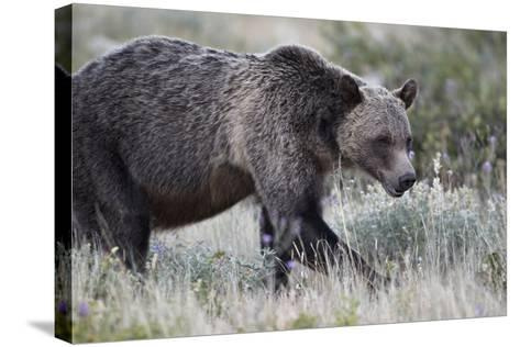 Grizzly Bear (Ursus Arctos Horribilis), Glacier National Park, Montana, United States of America-James Hager-Stretched Canvas Print
