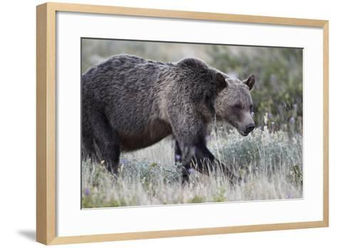 Grizzly Bear (Ursus Arctos Horribilis), Glacier National Park, Montana, United States of America-James Hager-Framed Art Print