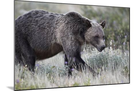 Grizzly Bear (Ursus Arctos Horribilis), Glacier National Park, Montana, United States of America-James Hager-Mounted Photographic Print