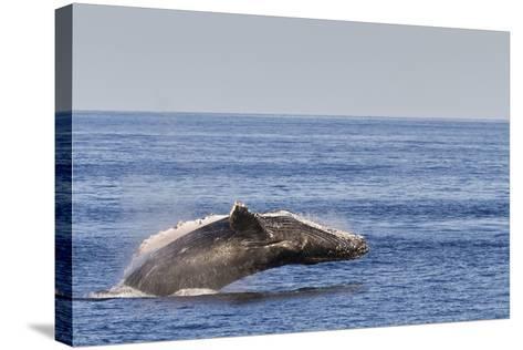 Adult Humpback Whale (Megaptera Novaeangliae) Breach, Gulf of California, Mexico-Michael Nolan-Stretched Canvas Print