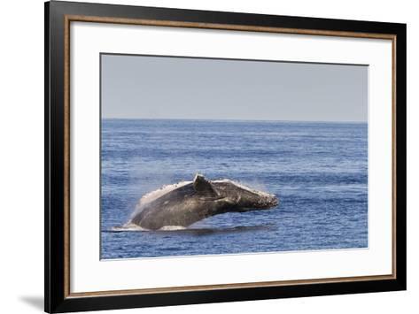 Adult Humpback Whale (Megaptera Novaeangliae) Breach, Gulf of California, Mexico-Michael Nolan-Framed Art Print