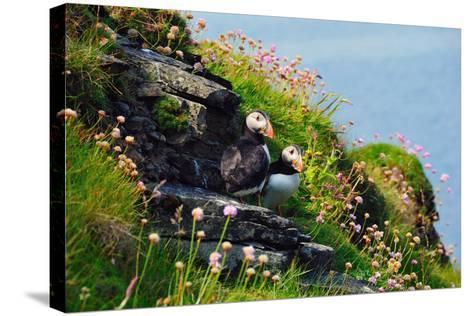 Two Puffins, Westray, Orkney Islands, Scotland, United Kingdom, Europe-Bhaskar Krishnamurthy-Stretched Canvas Print