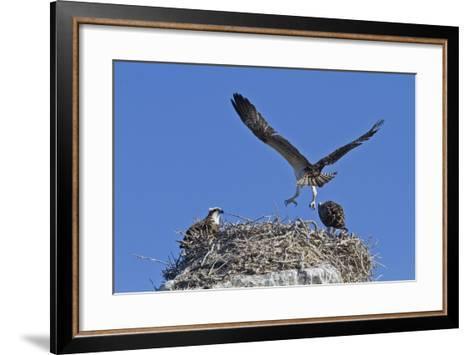 Osprey (Pandion Haliaetus) Chick Practising Flight, Gulf of California Baja California Sur, Mexico-Michael Nolan-Framed Art Print