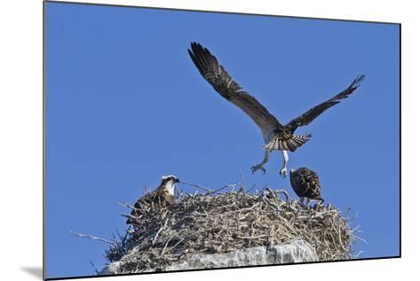 Osprey (Pandion Haliaetus) Chick Practising Flight, Gulf of California Baja California Sur, Mexico-Michael Nolan-Mounted Photographic Print