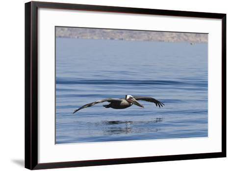 Adult Brown Pelican (Pelecanus Occidentalis), Gulf of California, Baja California, Mexico-Michael Nolan-Framed Art Print