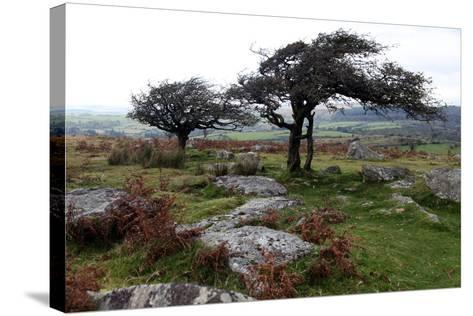 Two Windswept Trees, Near Hexworthy, Dartmoor, Devon, England, United Kingdom, Europe-David Lomax-Stretched Canvas Print
