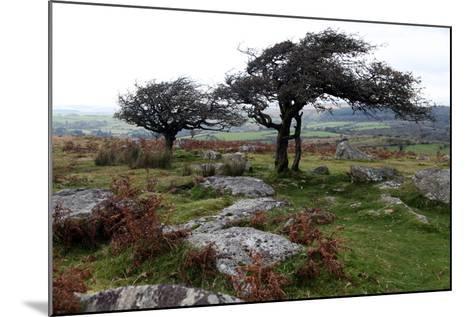 Two Windswept Trees, Near Hexworthy, Dartmoor, Devon, England, United Kingdom, Europe-David Lomax-Mounted Photographic Print