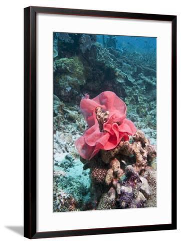 Nudibranch Eggs, Komodo, Indonesia, Southeast Asia, Asia-Lisa Collins-Framed Art Print