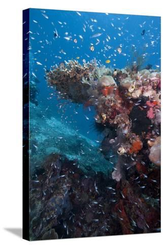 Reef Scene, Komodo, Indonesia, Southeast Asia, Asia-Lisa Collins-Stretched Canvas Print