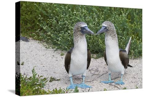 Blue-Footed Booby (Sula Nebouxii) Pair, North Seymour Island, Galapagos Islands, Ecuador-Michael Nolan-Stretched Canvas Print
