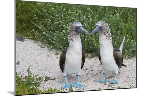 Blue-Footed Booby (Sula Nebouxii) Pair, North Seymour Island, Galapagos Islands, Ecuador-Michael Nolan-Mounted Photographic Print