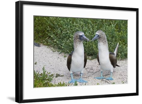 Blue-Footed Booby (Sula Nebouxii) Pair, North Seymour Island, Galapagos Islands, Ecuador-Michael Nolan-Framed Art Print