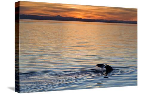 Sperm Whale (Physeter Macrocephalus) at Sunset, Isla San Pedro Martir, Gulf of California, Mexico-Michael Nolan-Stretched Canvas Print