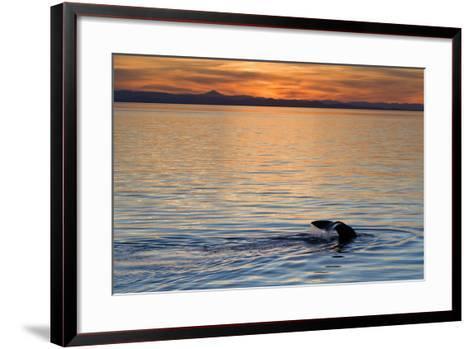 Sperm Whale (Physeter Macrocephalus) at Sunset, Isla San Pedro Martir, Gulf of California, Mexico-Michael Nolan-Framed Art Print