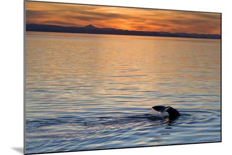 Sperm Whale (Physeter Macrocephalus) at Sunset, Isla San Pedro Martir, Gulf of California, Mexico-Michael Nolan-Mounted Photographic Print