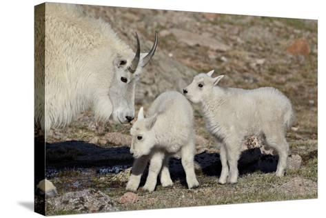 Mountain Goat Nanny and Kids, Mt Evans, Arapaho-Roosevelt Nat'l Forest, Colorado, USA-James Hager-Stretched Canvas Print