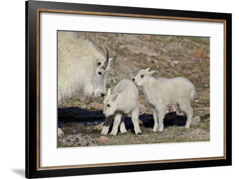 Mountain Goat Nanny and Kids, Mt Evans, Arapaho-Roosevelt Nat'l Forest, Colorado, USA-James Hager-Framed Art Print