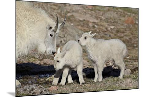 Mountain Goat Nanny and Kids, Mt Evans, Arapaho-Roosevelt Nat'l Forest, Colorado, USA-James Hager-Mounted Photographic Print