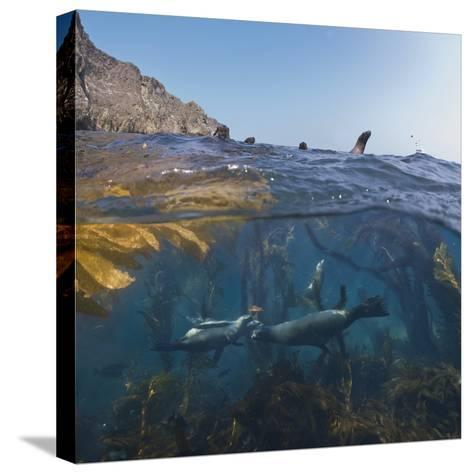 Underwater Photo of Kelp and Sea Lions, Anacapa, Channel Islands National Park, California, USA-Antonio Busiello-Stretched Canvas Print