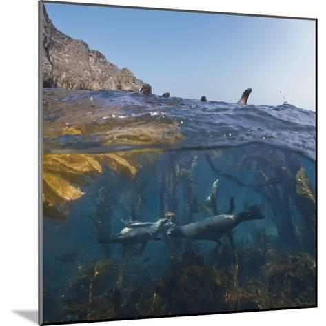 Underwater Photo of Kelp and Sea Lions, Anacapa, Channel Islands National Park, California, USA-Antonio Busiello-Mounted Photographic Print