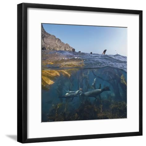 Underwater Photo of Kelp and Sea Lions, Anacapa, Channel Islands National Park, California, USA-Antonio Busiello-Framed Art Print