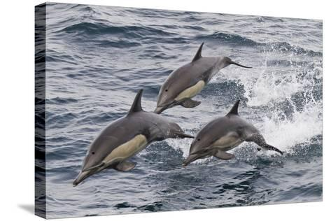 Long-Beaked Common Dolphin, Isla San Esteban, Gulf of California (Sea of Cortez), Mexico-Michael Nolan-Stretched Canvas Print