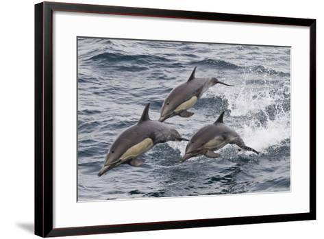Long-Beaked Common Dolphin, Isla San Esteban, Gulf of California (Sea of Cortez), Mexico-Michael Nolan-Framed Art Print