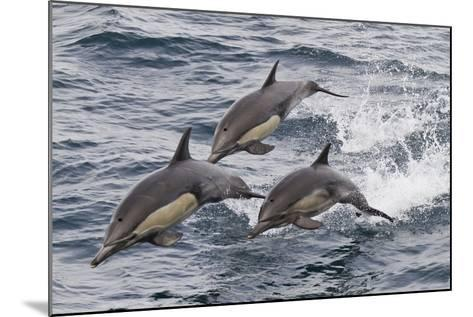 Long-Beaked Common Dolphin, Isla San Esteban, Gulf of California (Sea of Cortez), Mexico-Michael Nolan-Mounted Photographic Print
