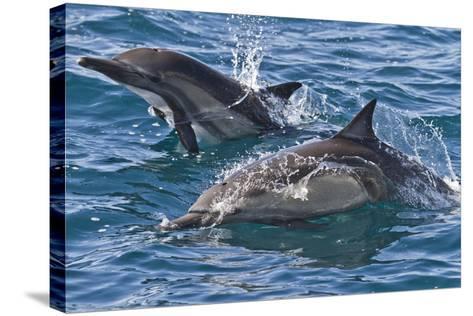Long-Beaked Common Dolphin, Isla San Esteban, Gulf of California (Sea of Cortez), Mexico-Michael Nolan-Stretched Canvas Print