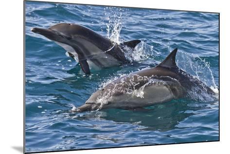 Long-Beaked Common Dolphin, Isla San Esteban, Gulf of California (Sea of Cortez), Mexico-Michael Nolan-Mounted Photographic Print