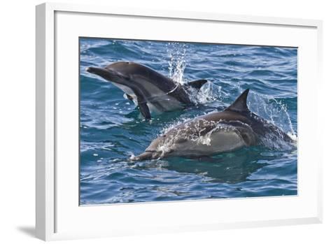Long-Beaked Common Dolphin, Isla San Esteban, Gulf of California (Sea of Cortez), Mexico-Michael Nolan-Framed Art Print