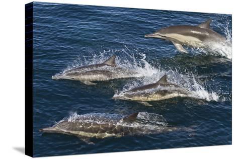 Long-Beaked Common Dolphins, Isla San Esteban, Gulf of California (Sea of Cortez), Mexico-Michael Nolan-Stretched Canvas Print