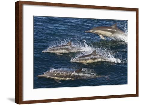 Long-Beaked Common Dolphins, Isla San Esteban, Gulf of California (Sea of Cortez), Mexico-Michael Nolan-Framed Art Print