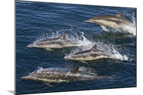 Long-Beaked Common Dolphins, Isla San Esteban, Gulf of California (Sea of Cortez), Mexico-Michael Nolan-Mounted Photographic Print