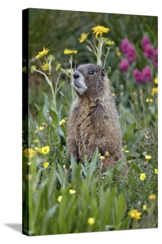 Yellow-Bellied Marmot Among Wildflowers, San Juan Nat'l Forest, Colorado, USA-James Hager-Stretched Canvas Print