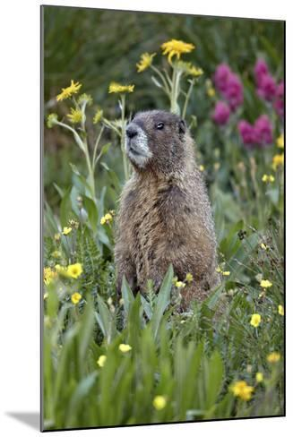 Yellow-Bellied Marmot Among Wildflowers, San Juan Nat'l Forest, Colorado, USA-James Hager-Mounted Photographic Print