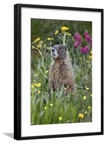Yellow-Bellied Marmot Among Wildflowers, San Juan Nat'l Forest, Colorado, USA-James Hager-Framed Art Print