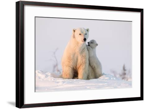 Polar Bear (Ursus Maritimus) and Cub, Wapusk National Park, Churchill, Hudson Bay, Manitoba, Canada-David Jenkins-Framed Art Print