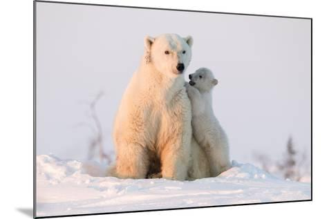 Polar Bear (Ursus Maritimus) and Cub, Wapusk National Park, Churchill, Hudson Bay, Manitoba, Canada-David Jenkins-Mounted Photographic Print