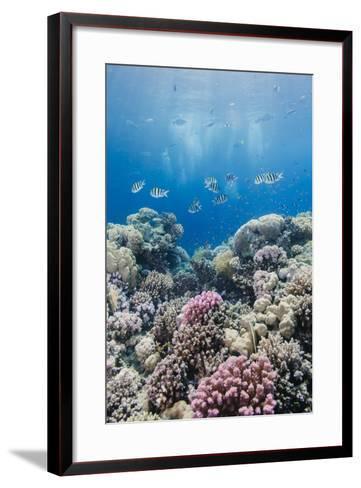 Hard Coral and Tropical Reef Scene, Ras Mohammed Nat'l Pk, Off Sharm El Sheikh, Egypt, North Africa-Mark Doherty-Framed Art Print