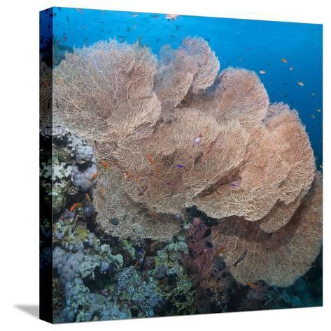 Close-Up of Giant Sea Fan Coral, Ras Mohammed Nat'l Pk, Off Sharm El Sheikh, Egypt-Mark Doherty-Stretched Canvas Print