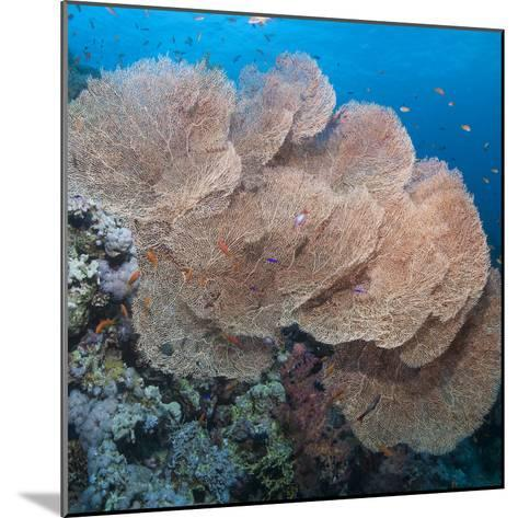 Close-Up of Giant Sea Fan Coral, Ras Mohammed Nat'l Pk, Off Sharm El Sheikh, Egypt-Mark Doherty-Mounted Photographic Print