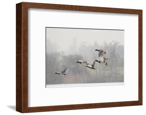 Four Mallard Drakes and a Duck Flying over Frozen Lake in Snowstorm, Wiltshire, England, UK-Nick Upton-Framed Art Print