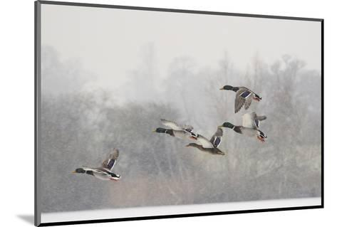 Four Mallard Drakes and a Duck Flying over Frozen Lake in Snowstorm, Wiltshire, England, UK-Nick Upton-Mounted Photographic Print