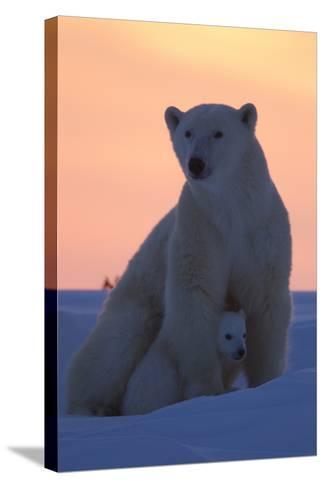 Polar Bear (Ursus Maritimus) and Cub, Wapusk National Park, Churchill, Hudson Bay, Manitoba, Canada-David Jenkins-Stretched Canvas Print