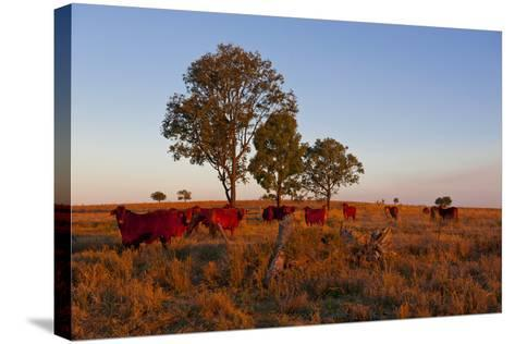 Cattle in the Late Afternoon Light, Carnarvon Gorge, Queensland, Australia, Pacific-Michael Runkel-Stretched Canvas Print