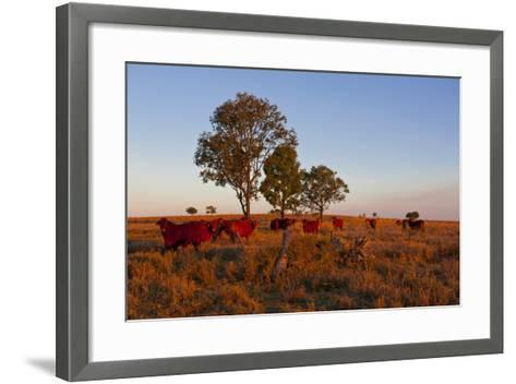 Cattle in the Late Afternoon Light, Carnarvon Gorge, Queensland, Australia, Pacific-Michael Runkel-Framed Art Print